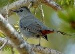 gray_catbird
